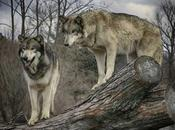 lobo, viene lobo!