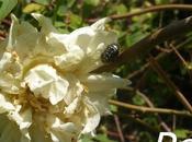Daños rosales Oxythyrea funesta