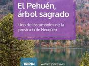 Pehuén Araucaria, árbol emblemático símbolos provincia Neuquén.