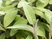 Salvia, Beneficios, Contraindicaciones cómo usarla