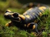 Simbolismo onírico soñar salamandras.