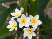 Beneficios flor mayo Plumeria rubra