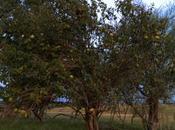 Árbol membrillo