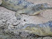 ¿Cocodrilo, caimán aligátor?