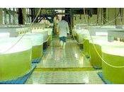 biodiésel algas, ¿combustible futuro?