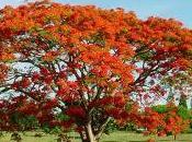 flamboyán como árbol