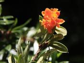 Michay (Berberis trigona)