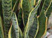 espada Jorge, planta purifica aire