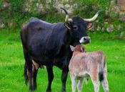 """vaca tudanca, descendiente """"Uro"""" (Bos primigenius)"""