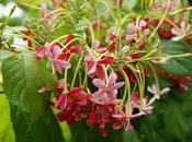 Planta trepadora Combretum indicum