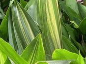 Cuidados aspidistra, reina plantas interior