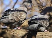 Apareamiento acicalamiento paloma manchada