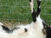curioso caso cabras desmayan