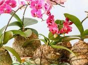 Kokedama Orquidea. Como cuidar