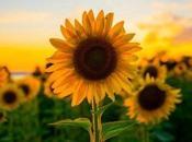 Girasol. Propiedades antioxidantes, beneficios cómo plantarlo