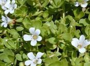 Bacopa Monnieri brahmi: propiedades usos esta planta
