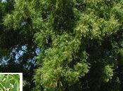 Aceite Neem: insecticida ecológico