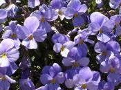 Violeta Teide