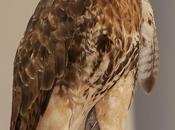 Gavilán Cola Roja Buteo jamaicensis (Gmelin, 1788) Red-tailed Hawk
