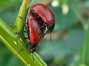 Escarabajos tortugas