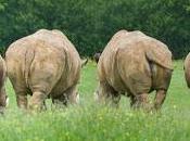 Rinocerontes grises