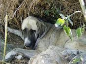 Mastina cachorros viviendo vertedero. URGENTE (Badajoz)