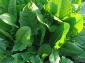 Acedera: propiedades beneficios esta planta medicinal
