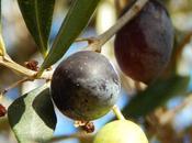 Aceitunas Negras Secas