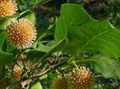 Kratom, planta censurada efectos medicinales