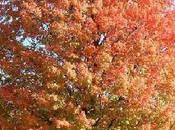 bonitos Acer Japoneses