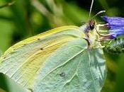 Mariposa cleopatra, ciclo anual