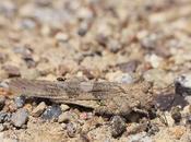 Tucura alas pálidas (Trimerotropis pallidipennis)