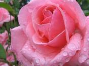 Ayer hoy: llegada rosa singular