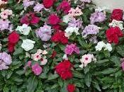 Vinca rosea Catharanthus roseus