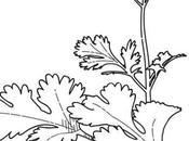 Cierva, Grass cilantro