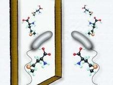 bacterias modifican composición pared para adaptarse cambios ambientales