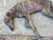 Cachorro galgo muriéndose calle. (sevilla) rescatado!!!