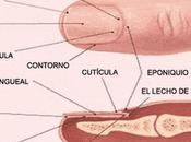 Hablemos de... anatomía uñas