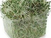 Germen alfalfa