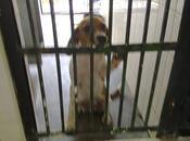 Cachorro cruce beagle desesperado perrera Sevilla, muerde barrotes.