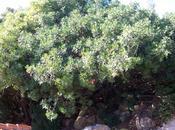 Lentisco (Pistacia lentiscus)