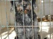 Necesita ayuda urgentemente!!! cruce snaucer sacrifican miercoles dejo dueño perrera gesser. (cadiz).