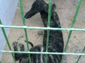 Galgo perrera hellin (albacete) sacrifican noviembre!
