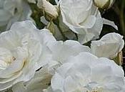 Elegir rosal trepador blanco
