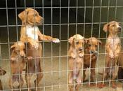 Cachorros cruce Setter Ingles Bretón urgente adopcion acogida.