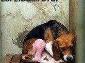 Fabrica beagles Italia, ayuda cerrarla