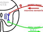 """Argumento: """"Debemos respetar individuos tienen sistema nervioso (SN), sólo central (SNC)"""""""