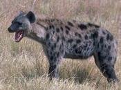 descubre 'ríen' hienas