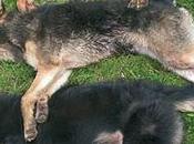 Hibridaciones perros lobos Península Ibérica