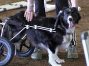 perro discapacitado compite concurso agilidad silla ruedas